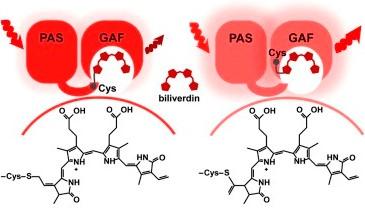 Новый флуоресцентный белок поможет в изучении живых организмов