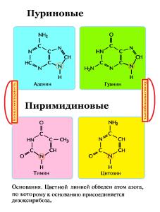 Азотистые основания пуриновые и пиримидиновые