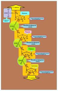 ДНК строение одной цепочки нуклеотидов