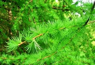 лиственница дерево