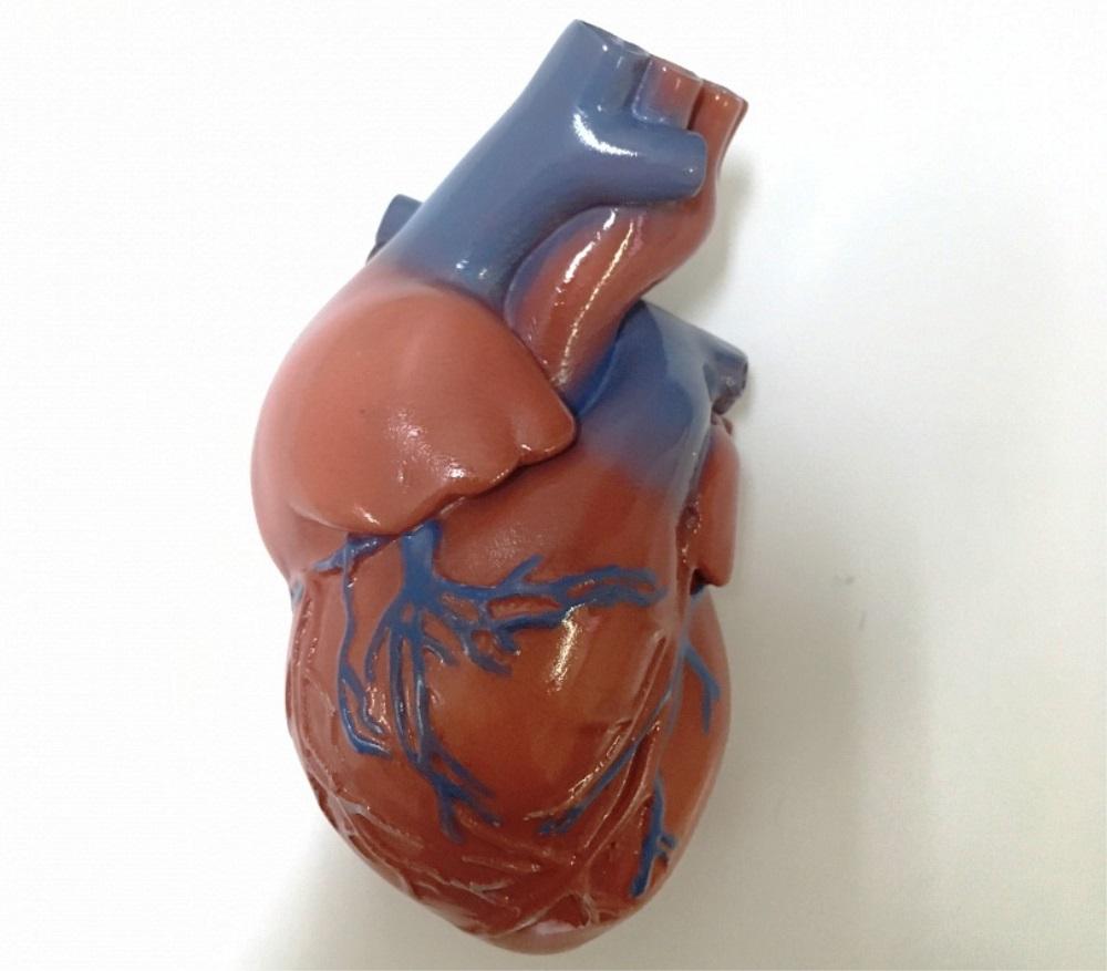 Анатомическая модель сердца человека на страницах авторитетного тематического издания