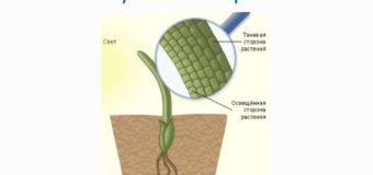 Гормоны растений – как использовать в садоводстве?