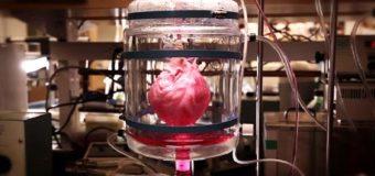 Сердце из пробирки: ученые смогли создать из стволовых клеток живой орган человека